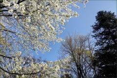 Baumblüten im April