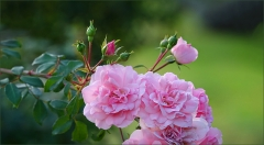 Rosen im Oktober