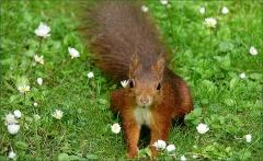 Eichhörnchen zwischen Gänseblümchen