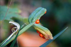Rote Beeren an einer Pflanze