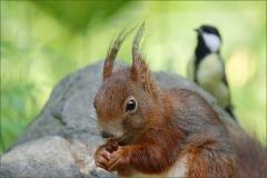 Eichhörnchen wird beobachtet