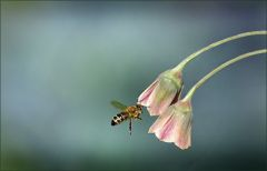 Anflug einer Biene