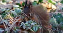 Eichhörnchen hinter Blättern mit Raureif