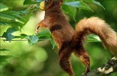 Mit der Aprikose springt es im Baum nach oben