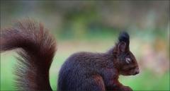 Ruhendes Eichhörnchen