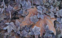 Verwelkte Blätter mit leichtem Raureif