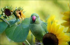 Papagei zwischen Sonnenblumen