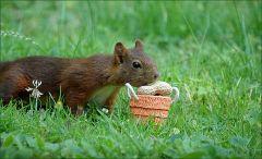 Das Eichhörnchen traut sich heran