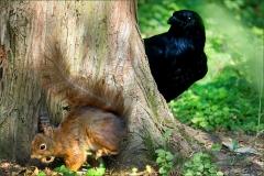 Der Rabe beobachtet ein Eichhörnchen