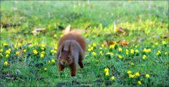 Eichhörnchen auf der Februarwiese