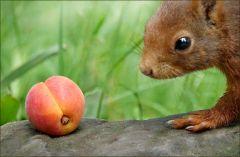 Ich habe dem Eichhörnchen eine Aprikose mitgebracht