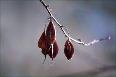 Bamsamen an einem Zweig