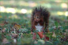 Eichhörnchen im Herbstlaub sitzend
