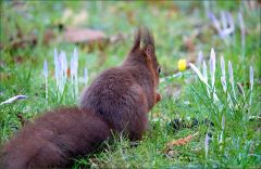Eichhörnchen und Krokusse