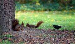 Zwei Eichhörnchen und eine Amsel