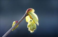 Strauchblüte