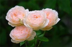 Rosen im Juli