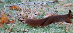 Eichhörnchen im Sprung