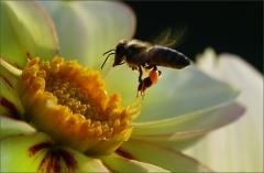 Dahlie und Biene im Anflug