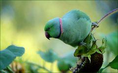 Papagei auf einer Sonnenblume