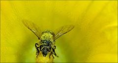 Biene im Blütenstaub
