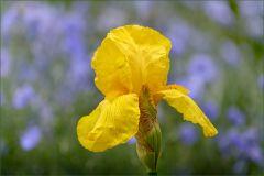 Iris im Mai