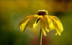 Gelbe Sommerblume