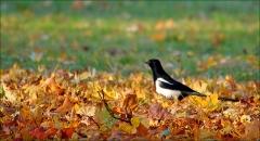 Elster im Herbstlaub