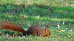 Eichhörnchen bei Schneeglöckchen