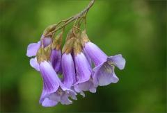 Blüten am Blauglockenbaum