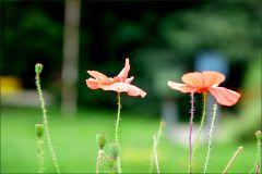 Zwei Mohnblumen
