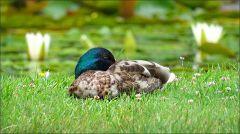 Schlafender Erpel am Teich