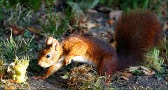 Eichhörnchen auf der Suche