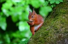 Eichhörnchen mit einer Nussschale
