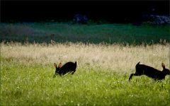 Springende Wildkaninchen