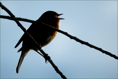 Singendes Rotkehlchen