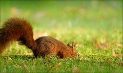 Eichhörnchen sucht im Gras