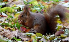 Eichhörnchen futtert eine Nuss