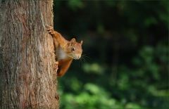 Ein Eichhörnchen beobachtet was es da unten auf der Wiese zu holen gibt