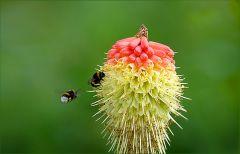 Fackellilie und zwei Hummeln