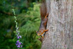 Eichhörnchen mit Junghörnchen