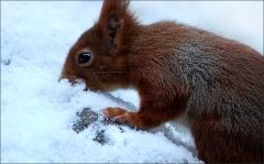 Eichhoernchen im Schnee