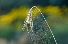 Roggen mit Spinnennetz