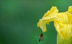 Kürbisblüte und Biene
