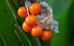 Mir unbekannte Beeren an einer Pflanze