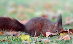 Suchendes Eichhörnchen
