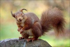 Lachendes Eichörnchen über uns Menschen