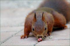 Das Eichhörnchen beschnubbert eine Nuss