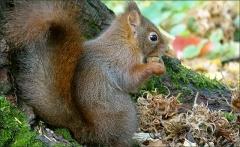 Eichhörnchen mit einer Nuss