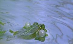 Wasserfrosch mit Schallblasen